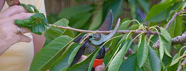 Секреты вишни и черешни осенью – когда сажать, как обрезать