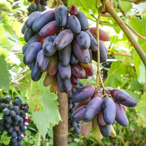 Виноград кишмиш Черный палец изображение 1 артикул 7318