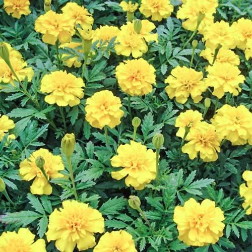 Бархатцы Лимонная капля Русский огород НК изображение 1 артикул 69924