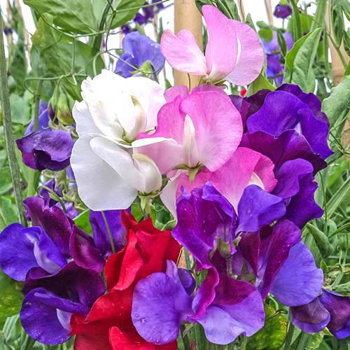 Горошек душистый Русский Размер, смесь окрасок Русский огород НК изображение 1 артикул 69938