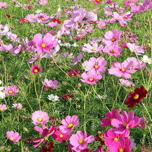 Газон цветущий Коттедж Гарден, смесь окрасок Русский огород НК изображение 1 артикул 69867