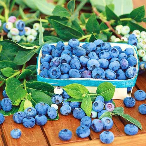 Голубика Блю Стар изображение 1 артикул 9269