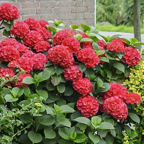 Гортензия крупнолистная Ред Мисс Хепберн изображение 1 артикул 9032