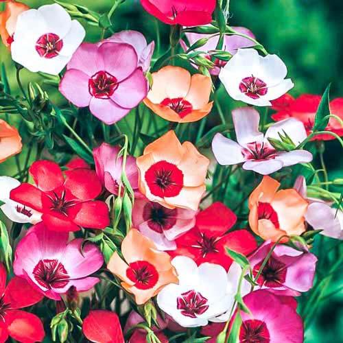 Лен Очарование, смесь окрасок Русский огород НК изображение 1 артикул 69945