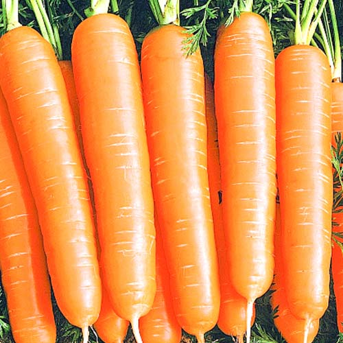 Морковь Алтайская сахарная Уральский дачник изображение 1 артикул 74183
