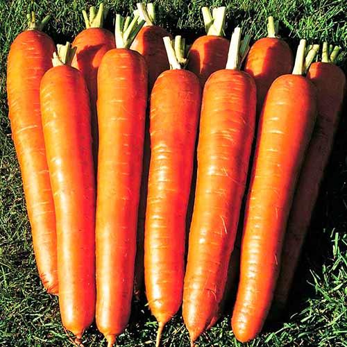 Морковь Сахарный гигант Уральский дачник изображение 1 артикул 74185