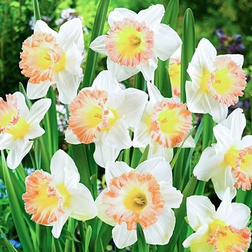 Нарцисс крупноцветковый Бритиш Гембл изображение 1 артикул 67642