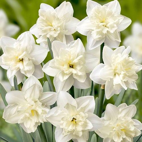 Нарцисс сплит-корона Колбланк изображение 1 артикул 67648