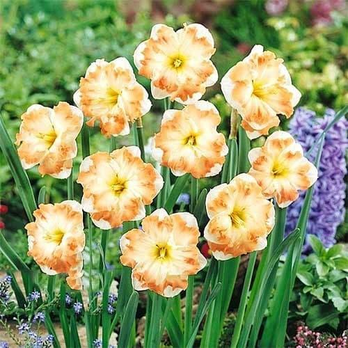 Нарцисс сплит-корона Кум Лауд изображение 1 артикул 68098