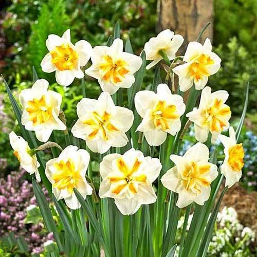 Нарцисс мелкокорончатый Сорбет изображение 1 артикул 67430