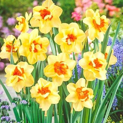 Нарцисс махровый Дабл Фэшн изображение 1 артикул 67413