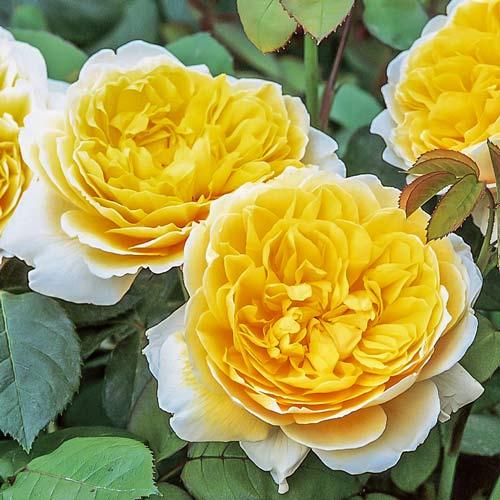 Роза английская Шарлотта изображение 1 артикул 2228