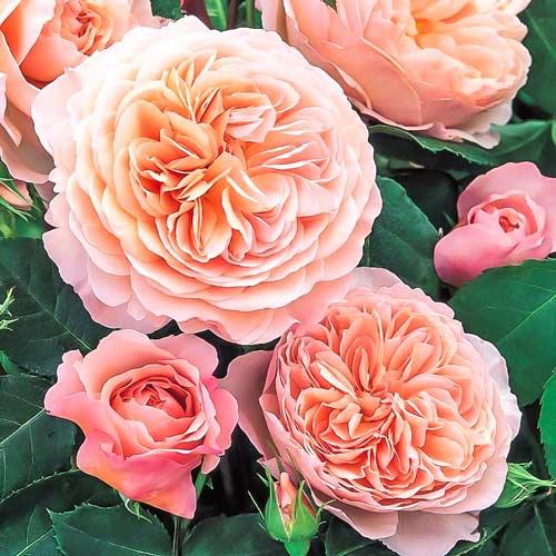 Роза английская Вильям Моррис изображение 1 артикул 2212