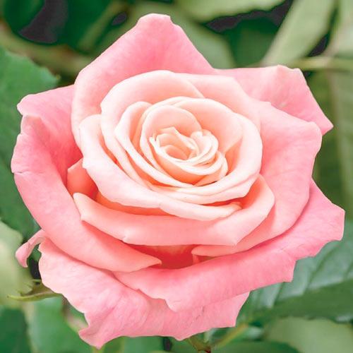 Роза чайно-гибридная Фламинго изображение 1 артикул 2139