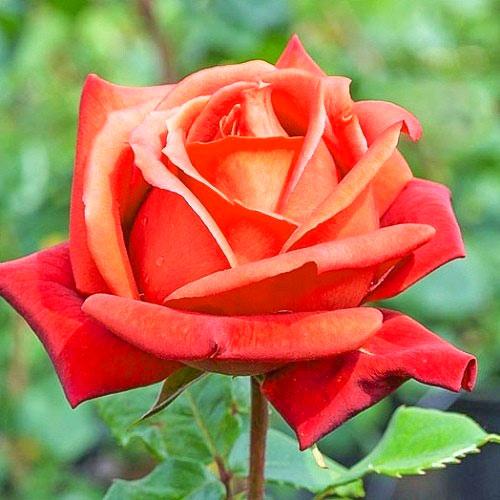 Роза чайно-гибридная Моника изображение 1 артикул 2126