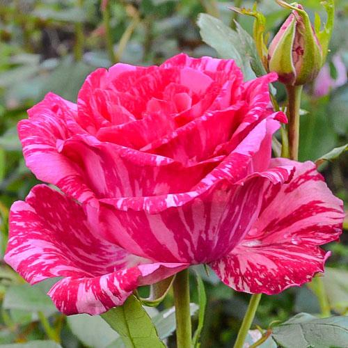 Роза чайно-гибридная Пинк Интуишн изображение 1 артикул 2131
