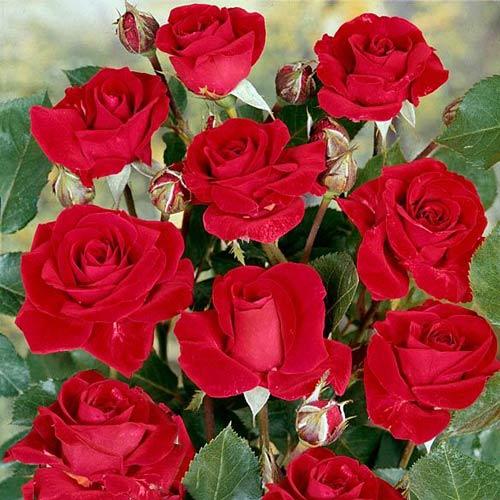 Роза флорибунда Нина Вейбул