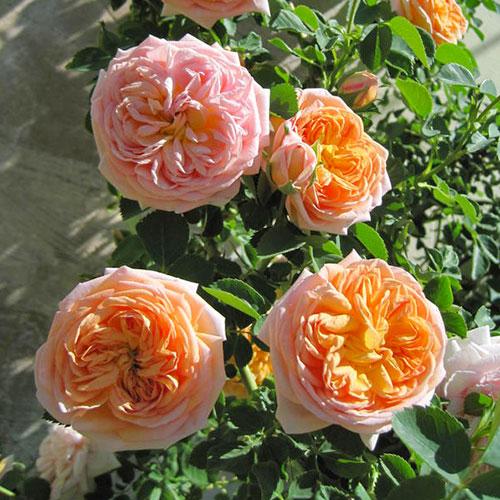 Роза плетистая Алхимист изображение 1 артикул 2150