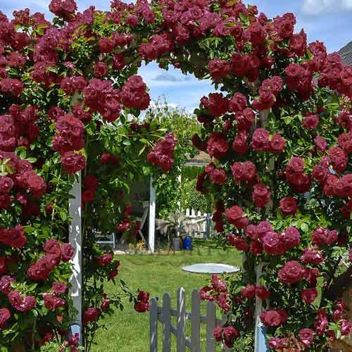 Роза плетистая Черный Принц изображение 1 артикул 2184