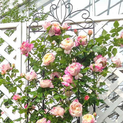 Роза плетистая Импрессионист изображение 1 артикул 2163