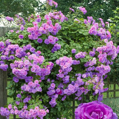 Роза плетистая Индиголетта изображение 1 артикул 2164