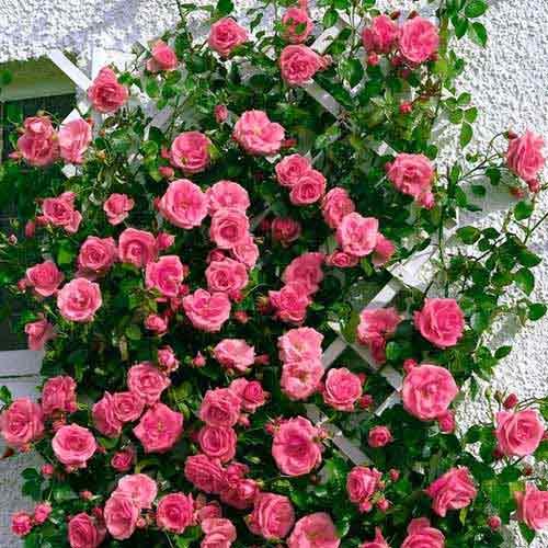 Роза плетистая Лавиния изображение 1 артикул 2168
