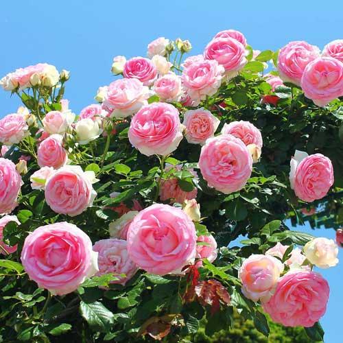 Роза плетистая Розовая крупная изображение 1 артикул 2182