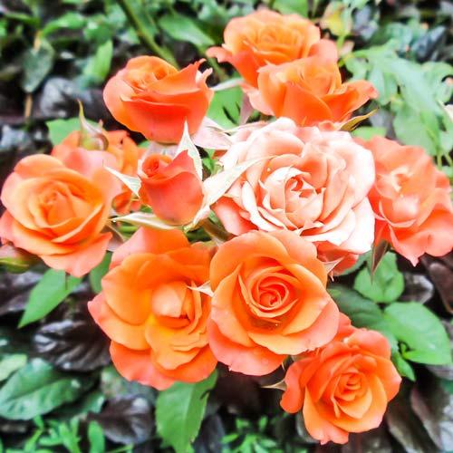 Роза спрей Алегрия изображение 1 артикул 2229