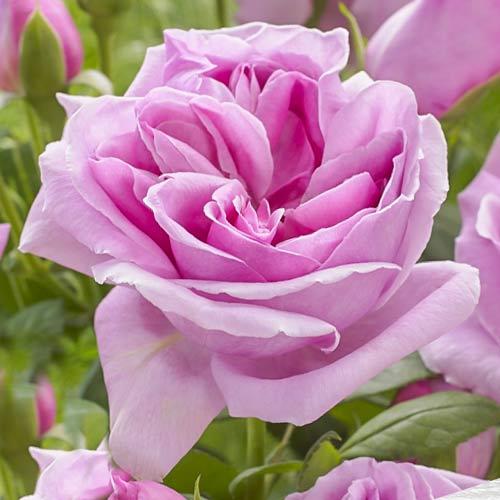 Роза чайно-гибридная Липарфюм изображение 1 артикул 3510