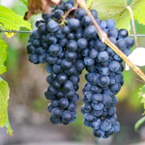 Виноград Макси черный
