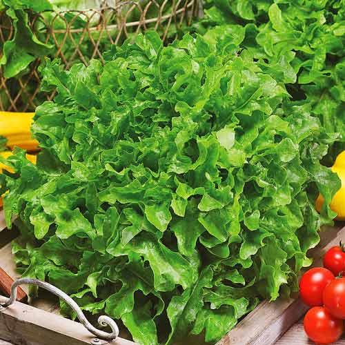 Салат листовой Изумрудный Седек изображение 1 артикул 71672