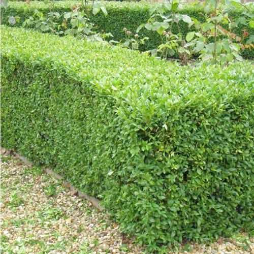 Самшит вечнозеленый изображение 2 артикул 9093