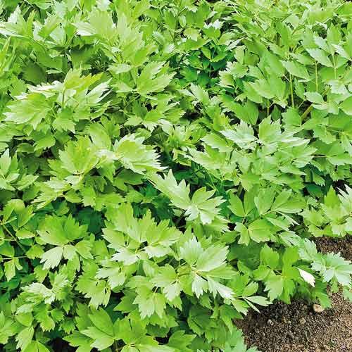 Сельдерей листовой Пучковый Седек изображение 1 артикул 71677