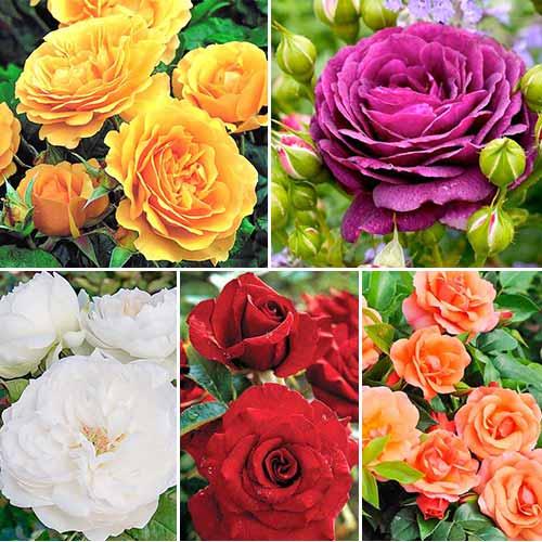 Суперпредложение! Комплект роз флорибунд Цветной микс из 5 сортов изображение 1 артикул 2206