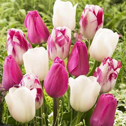 Суперпредложение! Комплект тюльпанов Утренняя заря изображение 1 артикул 67560