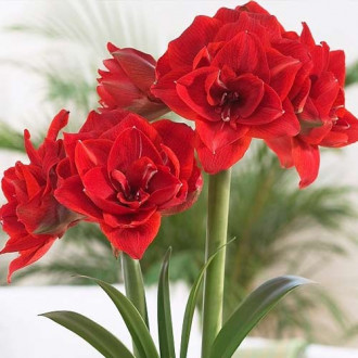 Амариллис (гиппеаструм) махровый Ред Нимф изображение 5