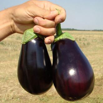 Баклажан Царская икра Premium Seeds изображение 3