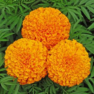 Бархатцы Гусары Premium Seeds изображение 3