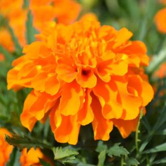 Бархатцы Лисички Premium Seeds изображение 5