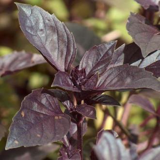 Базилик Черный Принц Premium Seeds изображение 8
