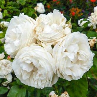Роза чайно-гибридная Вайт Квин Элизабет изображение 6