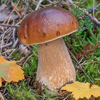 Белый гриб берёзовый изображение 1