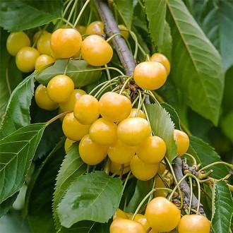 Черешня крупноплодная желтая изображение 7