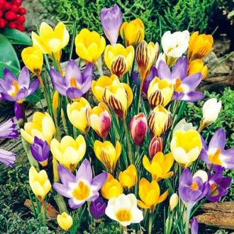 Крокус ботанический, микс изображение 8