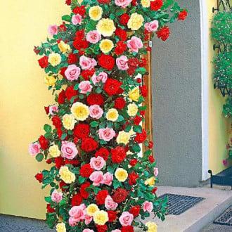 Суперпредложение! Комплект плетистых роз Триколор из 3 сортов изображение 5