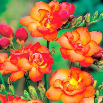 Фрезия Дабл Оранж изображение 5