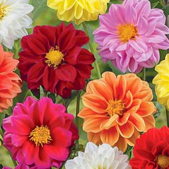 Георгина Клауди, смесь окрасок Premium Seeds изображение 6