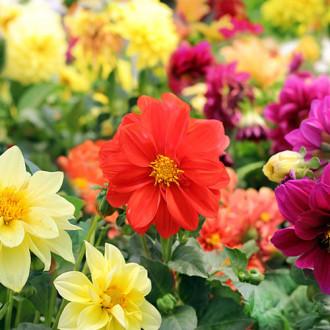 Георгина Веселые ребята, смесь окрасок Premium Seeds изображение 3