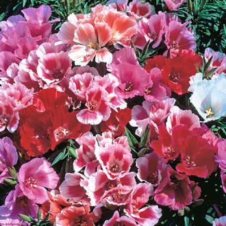 Годеция Майские розы, смесь окрасок Premium Seeds изображение 3