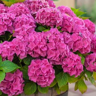 Гортензия крупнолистная Розовое чудо изображение 4